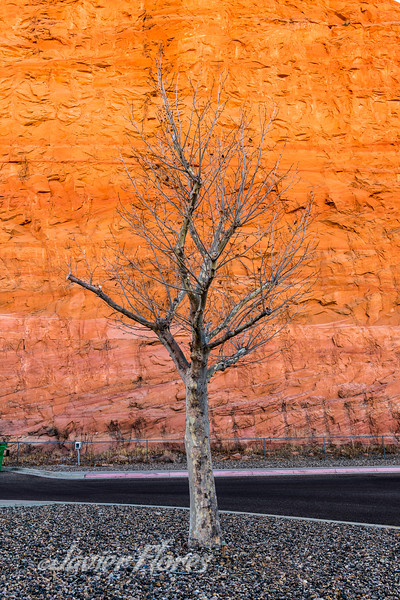 Tree agains red Canyon wall