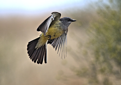 A Western Kingbird in Action!