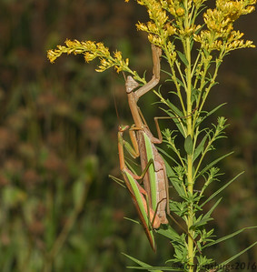 Mating Chinese mantises (Tenodera sinensis) on goldenrod in Iowa.