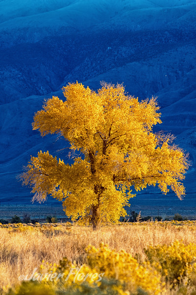 Owens Valley Cottonwood with fall colors