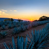 Sunset Over Blue Agave Fields