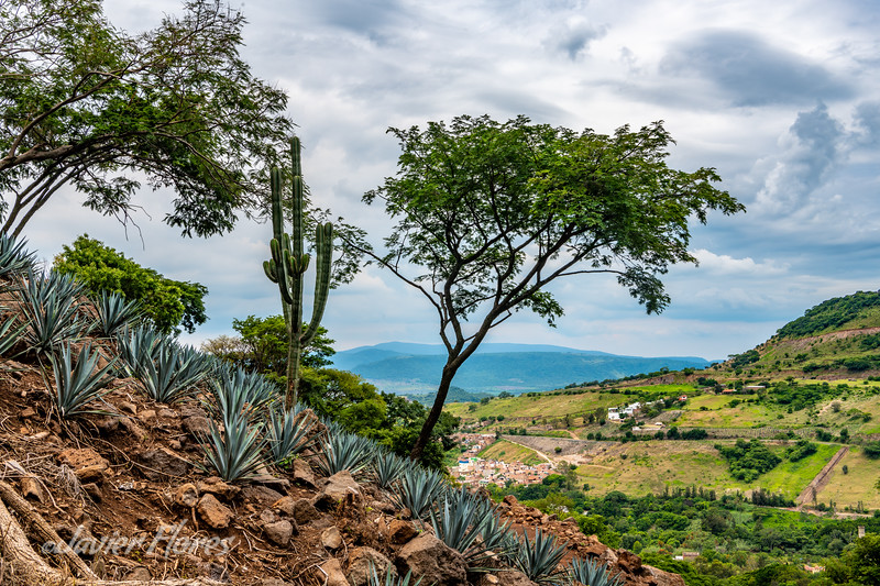 Agave On Mountain Slope