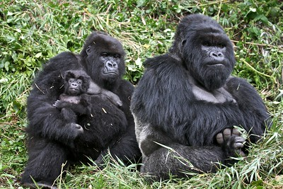 A family of gorillas in Volcanoes National Park, Rwanda