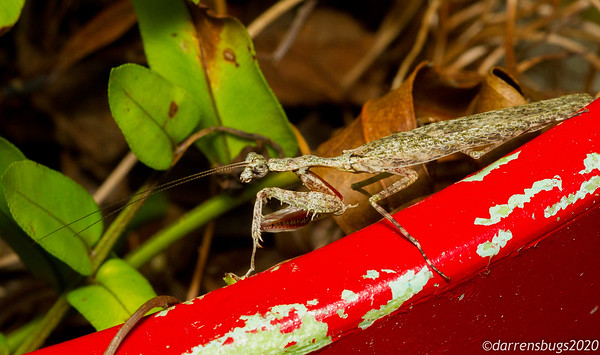 Male grizzled mantis, Gonatista grisea, from Puerto Rico.