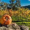 Pumpkin in the Vineyards