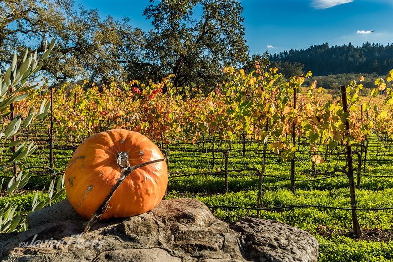 Pumpkin in the Vineyards