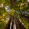 Redwood Tree Canopy