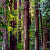 Towering Redwoods at Muir Woods
