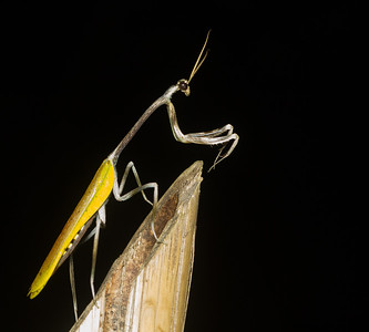 Adult male Pseudovates sp., by far the largest praying mantis encountered on my Panama trip.
