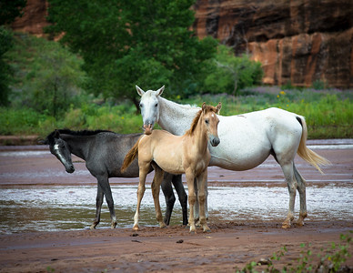 Horses, Canyon de Chelly