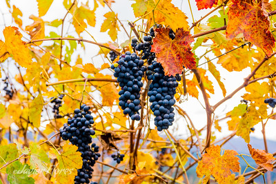 Vineyards in the Fall