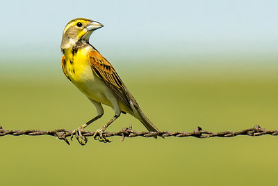 A Dickcissel Along the Santa Fe Trail