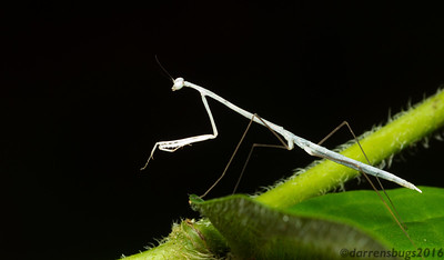 This slender praying mantis nymph (Angela sp.) was almost ghostly as it made its way through the undergrowth in the Panamanian jungle.