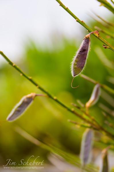Purple Seeds