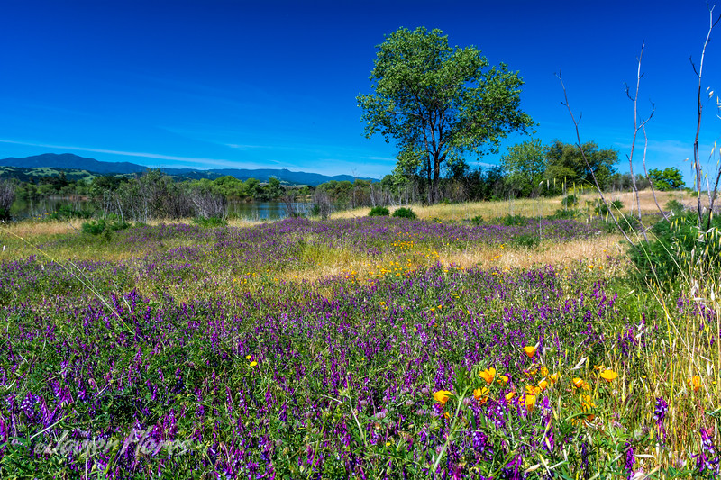 Wildflowers in South San Jose