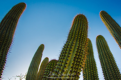 Cactus Reaching Skyward