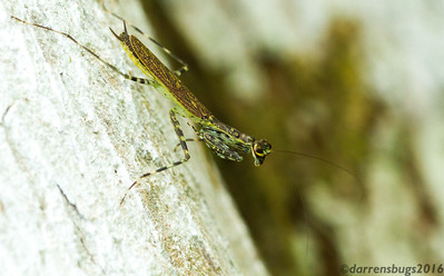 An adult bark mantis, Liturgusa sp., stalks a tree trunk in Panama.