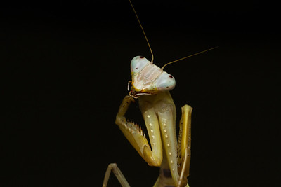 Giant mantis (possibly Heirodula sp.) from Thailand.