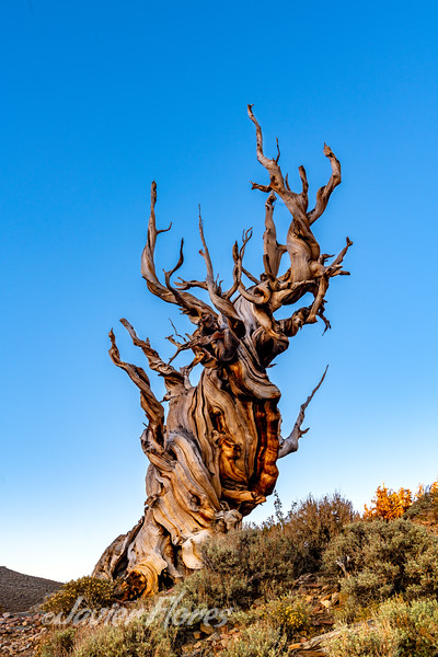 Lone Bristlecone Pine Tree