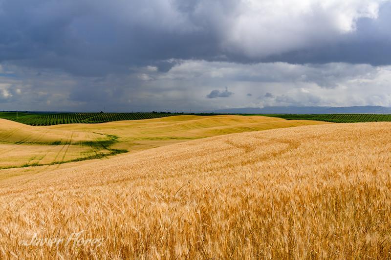 Yolo County Wheat Fields