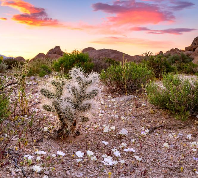 Cholla Cactus, Alabama Hills Sunset