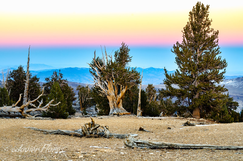 Bristlecone Pine Forest Sunset