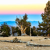 Bristlecone Pine Forest Sunset