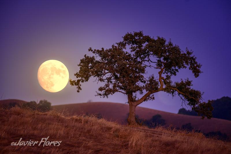 Moonrise and Oak Tree
