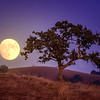Moonrise and Oak Tree
