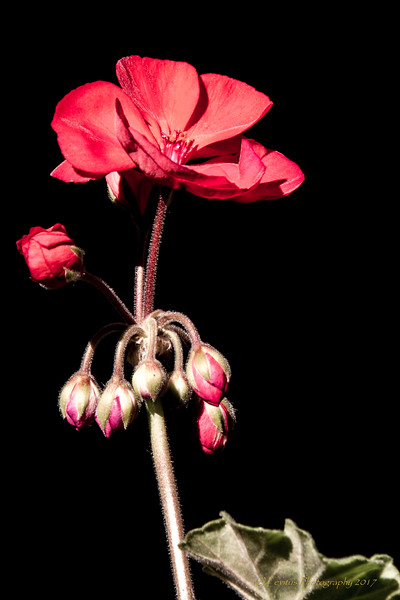 Aglow in the Dark,  Vibrant Geranium