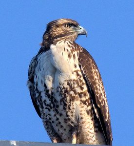 Red Tail Hawk on a Lam post