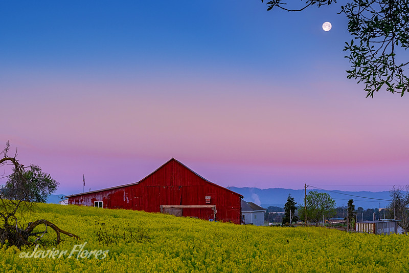 Red Barn and Mustard Grass