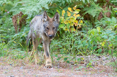Curious Wolf Pup