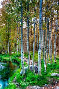 Lee Vining Canyon Aspen