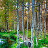 Lee Vining Canyon Aspen