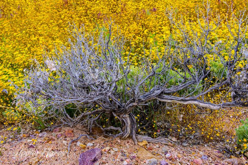 Mojave Desert Spring Bloom