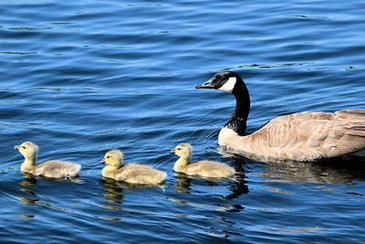 Goslings Swimming with Mom