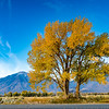 Cottonwood in the fall