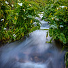 Calla Lilies with a stream