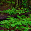 Ferns and Fallen Redwood