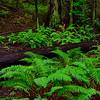 Ferns and Fallen Redwood