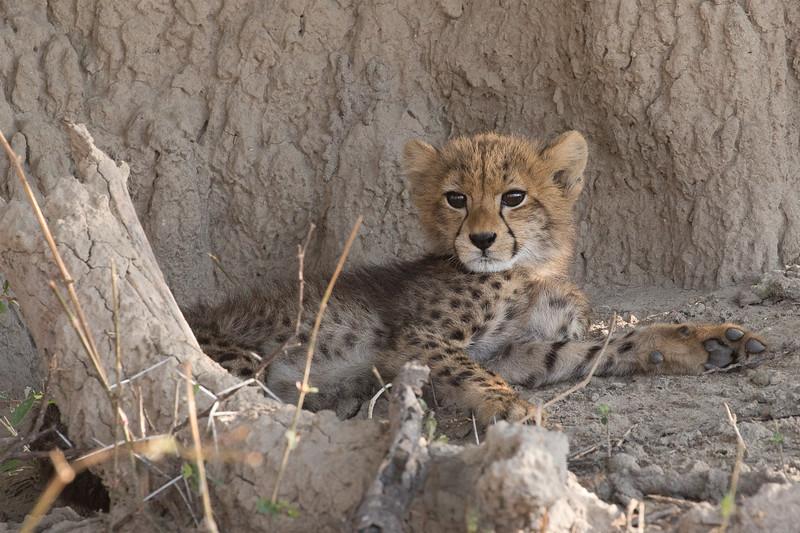 An alert Cheetah cub.