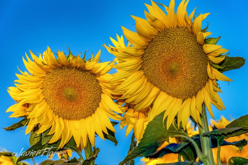 Sunflowers with Blue Sky