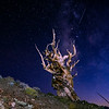 Shooting star with Bristlecone Pine Tree