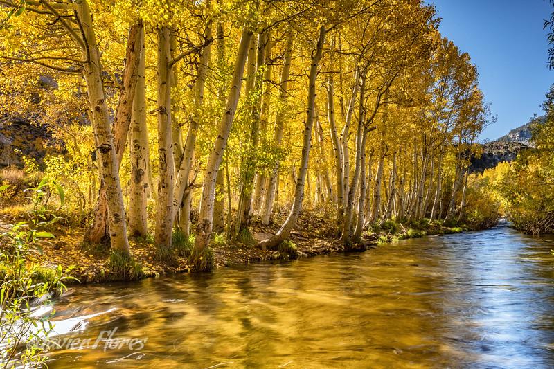 Fall color Aspens at Bishop Creek