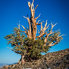 Ancient Bristlecone Pine tree