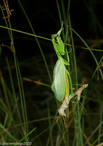 Chinese mantis (female) molting to her adult form, complete with brand-new wings. (Tenodera sinensis, in Iowa)
