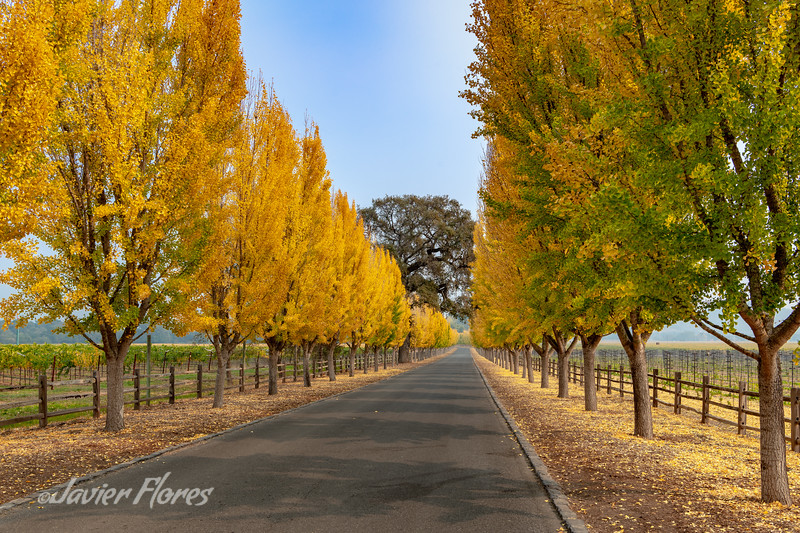 Napa Valley treelined road in the Fall