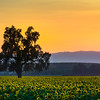 Yolo County Sunflower Fields