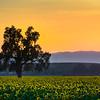Yolo County Sunflower Fields
